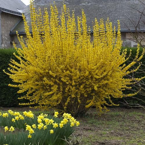 15 best images about forsythia on pinterest sun shrubs for Floraison hiver