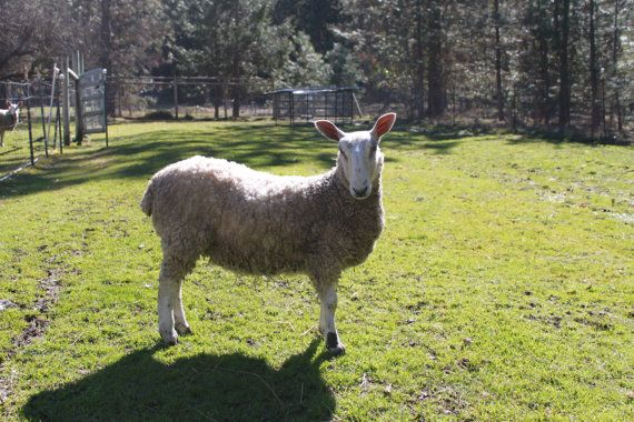 how to clean raw wool for felting
