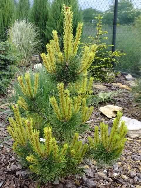Pinus mugo Frühlingsgold