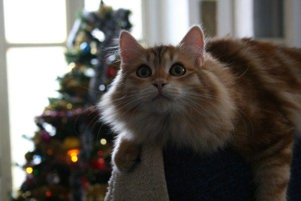 gatti siberiani cuccioli disponibili ipoallergenici