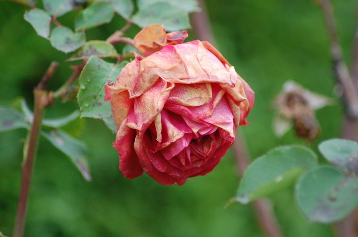 rose fané