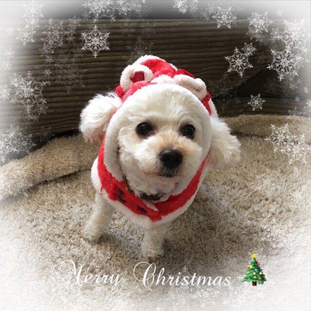 🐾 2017/12./25🎄 ・ ・ ミルクサンタからもメリークリスマス🎄 サンタの服が1枚しかなくて、来年はもう一枚買おうっと🤶 ・ ・ ・ #クリスマス#ミルクサンタ#トイプードル#愛犬#ホワイト#dog #instadog #instapoodle #poodle #poodlelove #merry Christmas