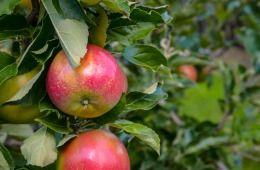 Wbrew prognozom, po zamknięciu dla polskich jabłek rynku rosyjskiego, producenci regionu grójeckiego odnotowali mniejsze straty, niż można się było spodziewać. Owszem, sprzedaż spadła, ale nie dramatycznie. Sadownicy i właściciele firm skupujących jabłka postawili na jakość i promocję swoich produktów – pomocny jest w tym europejski system ochrony produktów regionalnych i tradycyjnych oraz znak #ChOG, o którego przyznanie stara się w tej chwili kilkuset producentów. O to, co słychać w…