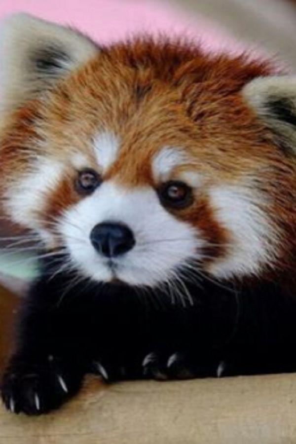 I Captured Cute Wrestling Red Panda Cubs