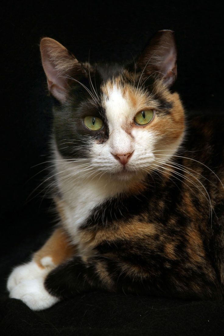Pretty calico cat with golden eyes