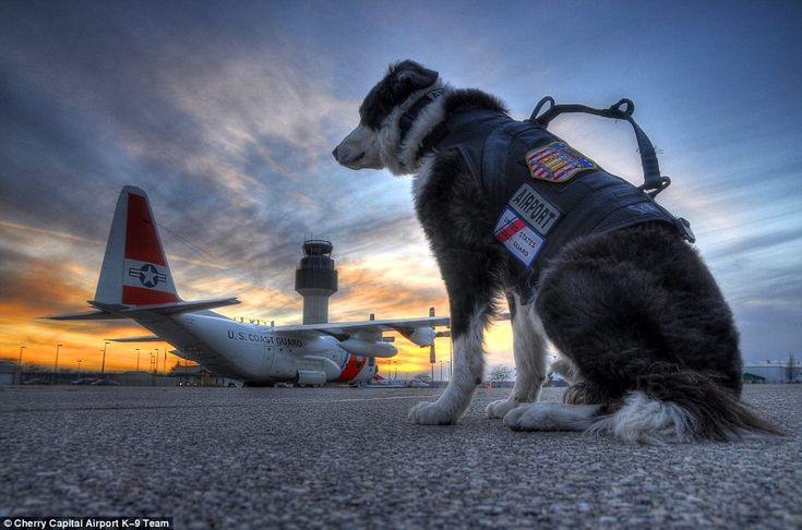 Piper is the only Wildlife Control K-9 on staff at an airport in Michigan and the airport ...