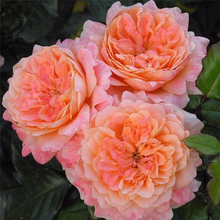 """ King Arthur "" (HARverag), also known as "" English Sonnet "" and in USA as "" Samaritan"" - Floribunda, hybrid tea rose - Apricot, pink shading - Strong, anise, cinnamon, fruity, spice fragrance - Harkness (UK), 1988"