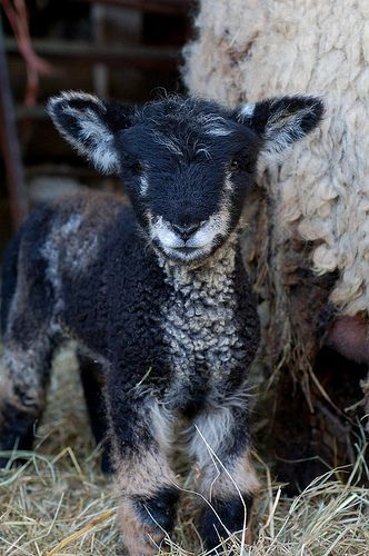 Twinset, one of Truffle's lambs.
