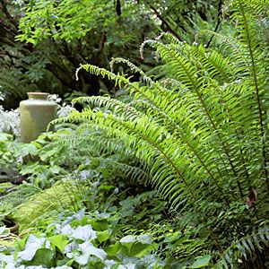 Best ferns for a low water garden gardens drinks and plants for Low water landscaping plants
