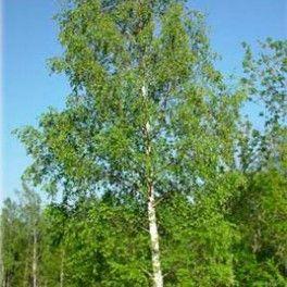 Název: Bříza bělokorá Latin. název: Betula Linné Čeleď: břízovité Latin. čeleď: Betulaceae