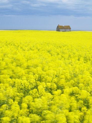 Barn and Canola Field, Southern Saskatchewan, Canada