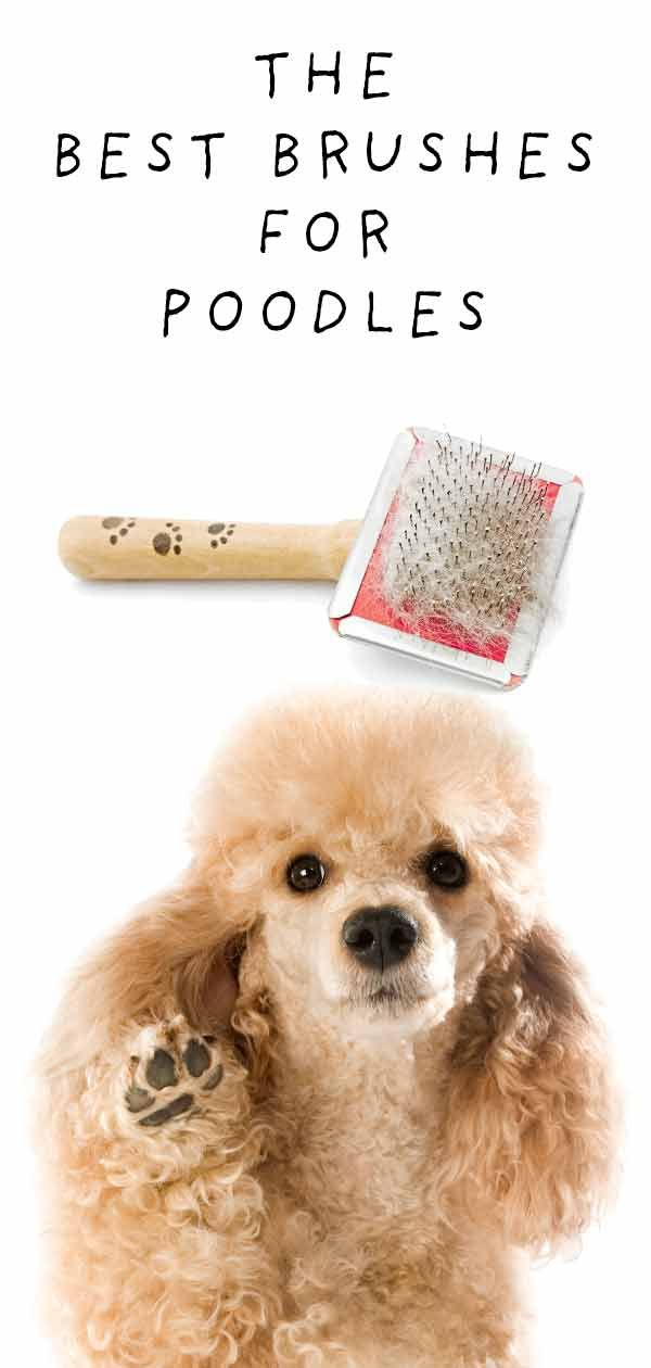 Best Brush For Poodles And Their Cute Curly Coats Poodle Dog