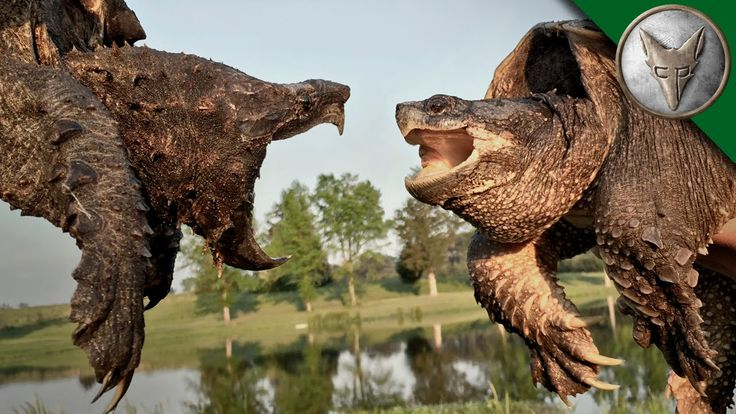 Alligator Snapping Turtle compared to Common Snapping Turtle