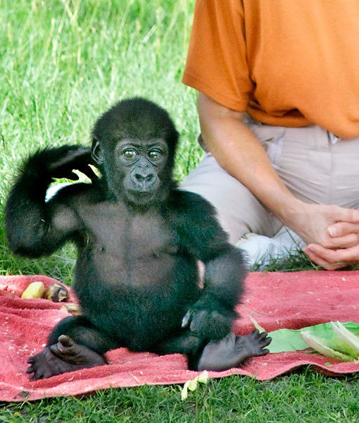 906 best Great Apes images on Pinterest Monkeys Orangutans and