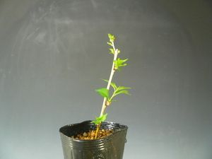 盆栽素材苗木あかね桜270407-6