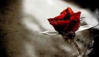 HD Rose Flower Desktop Wallpaper