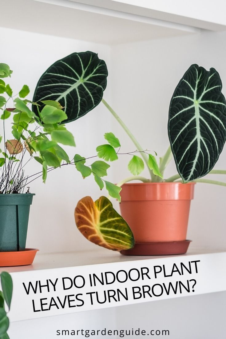 Why Do Indoor Plant Leaves Turn Brown And 7 Solutions Smart Garden Guide In 2020 Plant Leaves Turning Brown Plant Leaves Turning Plant Leaves