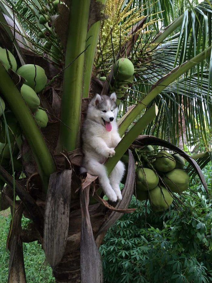 Husky gets stuck in tree and ends up getting photoshoped by the Internet. The results? HILARIOUS!
