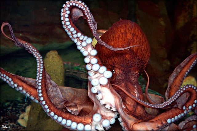 Jules is the Giant Pacific Octopus that lives in the Sealife Centre in Bray