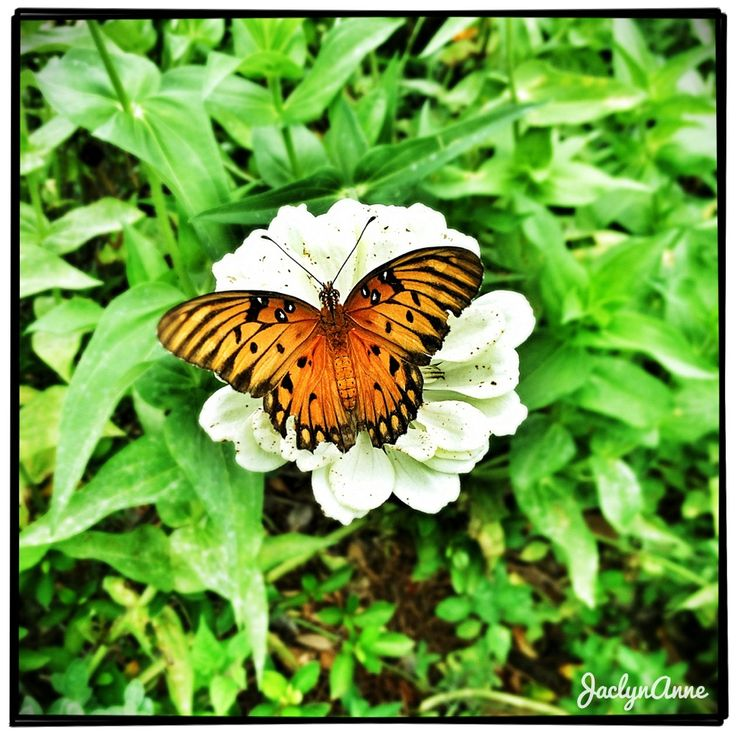 Gulf Fritillary Butterfly on a flower in South Carolina #iphoneography #photography