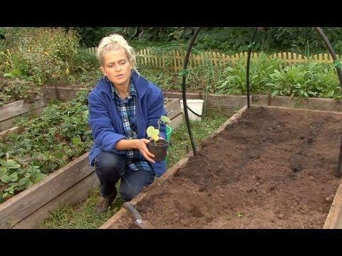 Все о выращивании огурцов. Посадка семян и рассады огурцов в грунт.Часть 4 - YouTube