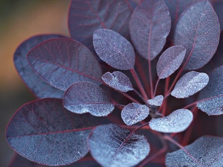 smoke bush plant (via http://krystalspeck.com/) but I found it on bookhou's facebook wall ... gorgeous!!