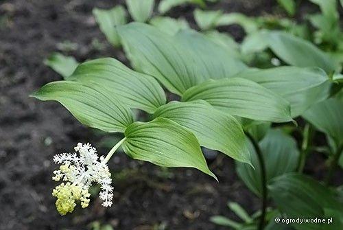 Majówka groniasta - Maianthemum racemosum