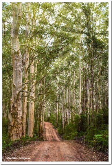 Boranup Forest - Margaret River Region. Western Australia