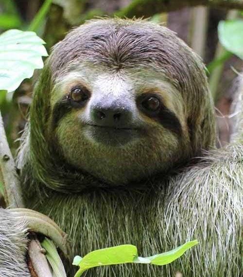 Three toed sloth-so cute!