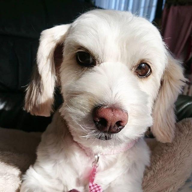 今日もいいお天気☀ 大掃除日和だよ😊  #愛犬 #愛犬家 #犬 #犬のいる生活 #わんちゃん #わんちゃん大好き #わんちゃんと一緒 #いいお天気 #大掃除日和 #はな #はなちゃん #ミックス犬 #チワワmix #シーズーmix #かわいい #家族 #dog #dogstagram #mix犬 #myfamily #lovely #ilovedogs #lovelymydog #ilovemydog