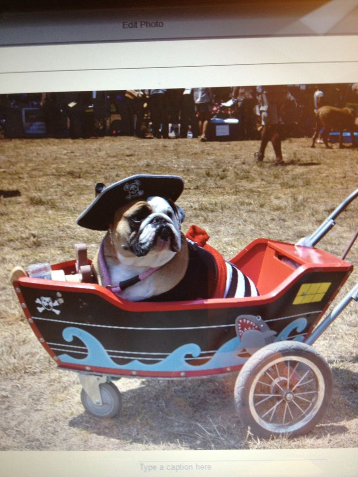 Our 2-1/2 year old English bulldog, just Won BEST IN COSTUME, 2012 Pooch Parade,dog costume, bull dog