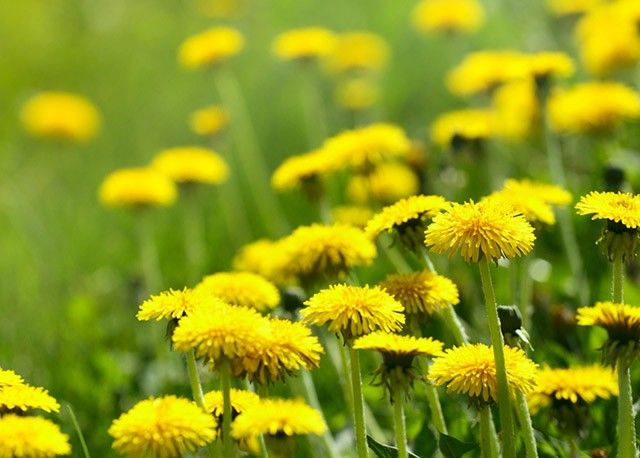 """Nehogy kiirtsd a kertedből! A legjobb méregtelenítő és májvédő növény, aminek minden része hasznosítható! A virágjából készíts """"hamis"""" mézet, amihez..."""