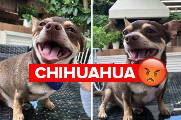17 Reasons Chihuahuas Are The Worst Dog Breed Ever Chihuahua