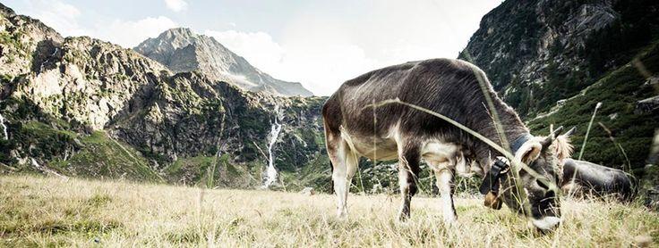 Almkühe bei der Sulzenau Alm im Stubaital, fotografiert auf eine unserer geführten Wanderungen