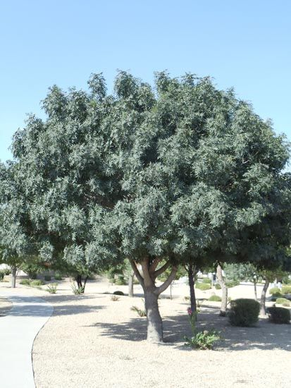 Red Push Pistache Tree Thriving In Full Sun And The Desert