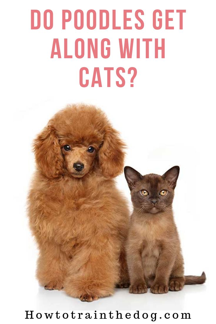 Do poodles get along with cats dog breeds poodle cats