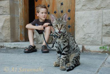 Mustang Male Savannah Cat F2 Generation Supreme quality
