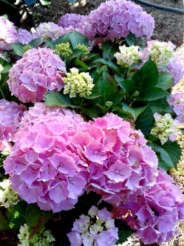 Pretty Pink Hydrangea Photo by Jan R. Fuller