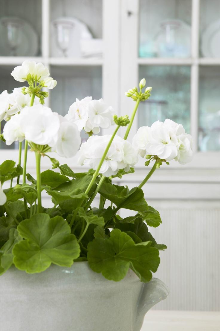 white geraniums - lovingly repinned by www.skipperwoodhome.co.uk
