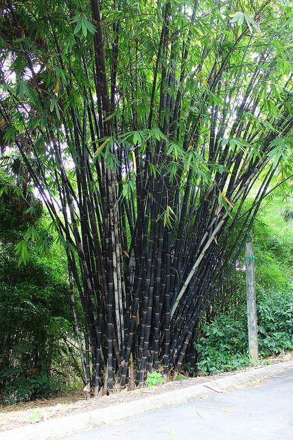 clumping bamboo ideas