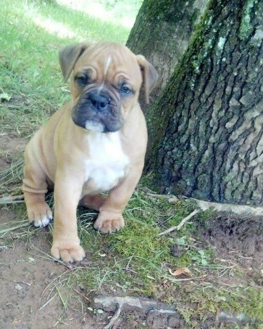 1000+ images about old english bulldog puppies on
