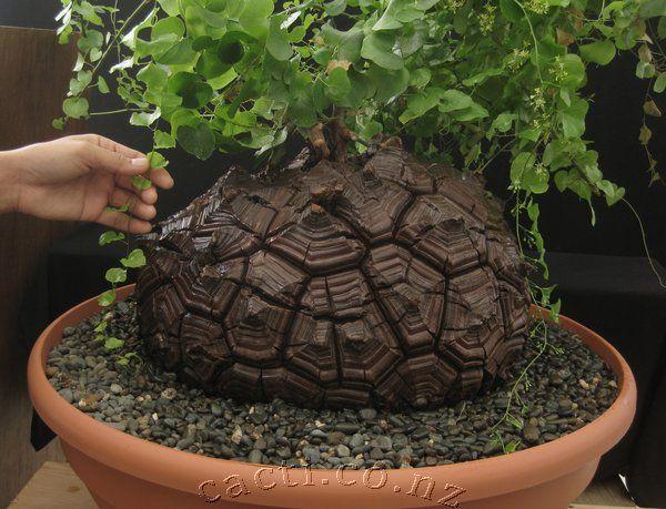 Dioscorea elephantipes -Elephantipes Dioscorea (el pie de elefante o hotentote pan;. Elephantipes syn testudinaria), es una especie de planta de flores en el género Dioscorea de la familia Dioscoreaceae, nativo a sur oeste de África del Sur