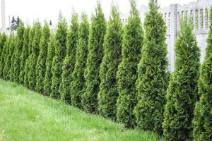 Closely planted arborvitae grow into an attractive hedge.