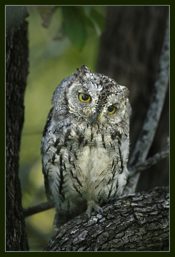 The owl is the wisest of all birds because the more it sees, the less it talks.  ~ African proverb (African Scops Owl)