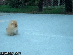 Cute Hopping Pomeranian