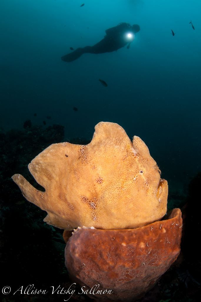 """Try lining up a diver next to a giant frogfish on a lovely sponge, and you will be able to capture a unique wide-angle image that is distinctly """"Lembeh."""" - Photo by Allison Vitsky Sallmon  #WideAngleWonder #Lembeh #Underwaterphotography — at Critters at Lembeh Resort."""