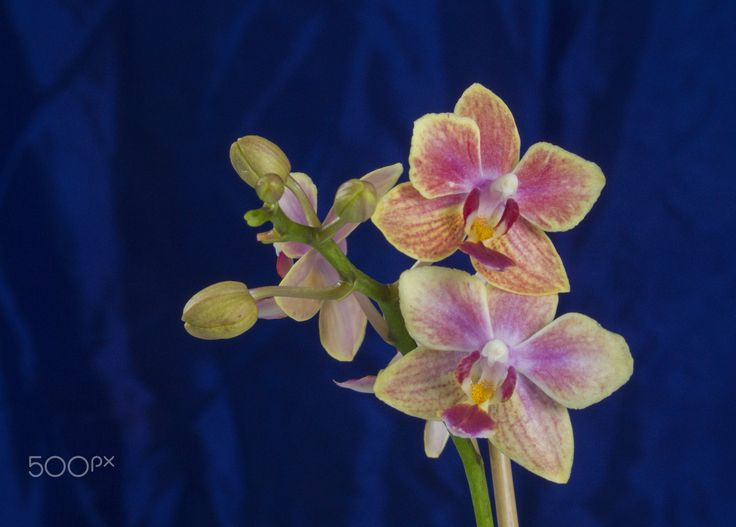 Show girl Orchid - Show girl Orchid