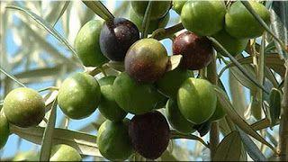gambar buah zaitun