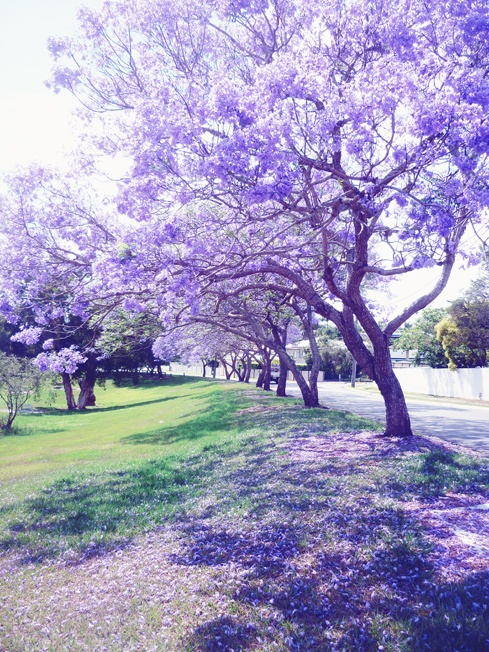 it's jacaranda time in my neck of the woods