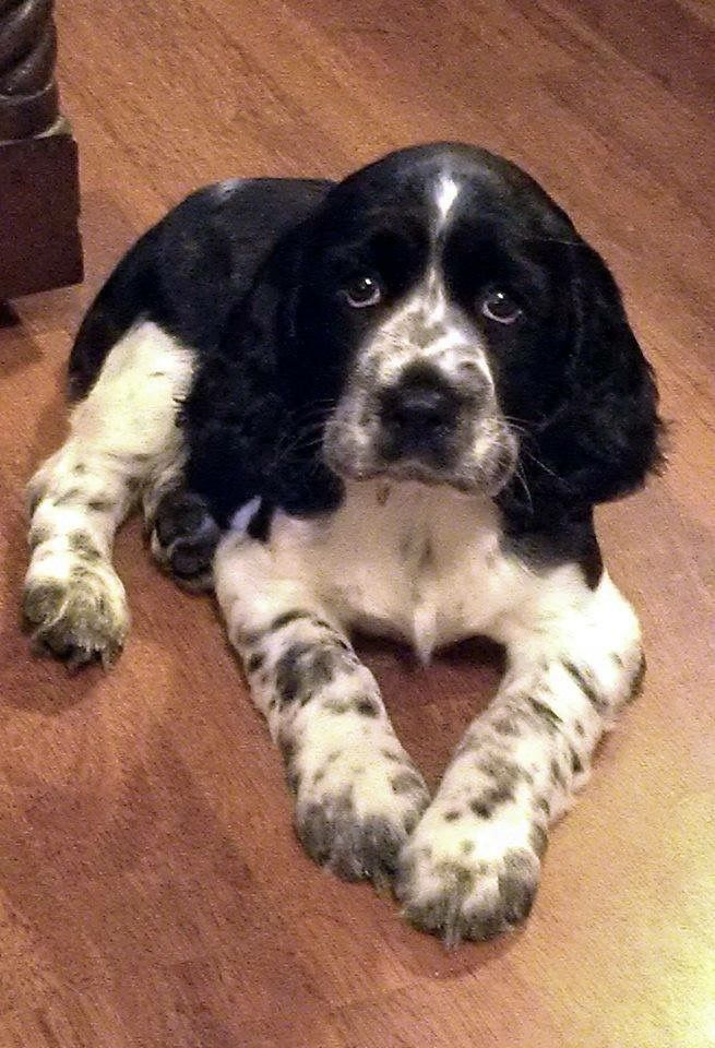 Cute English Springer Spaniel Puppy